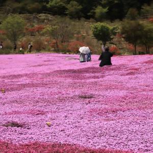 25万株の芝桜