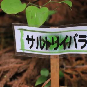 ヒトリシズカ?フタリシズカ? 雑草?花? 1/2