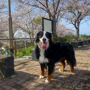 桜舞う 高塔山