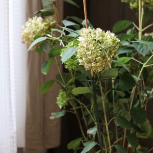 ★小さいお花をたくさん咲かせるアナベルの剪定方法