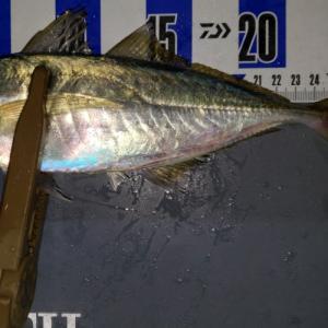 横須賀、サーフアジングにてアジの捕食対象を確認