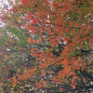 八千穂高原の紅葉とお山のタヌキ
