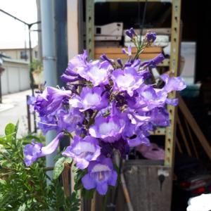 6月も、カオスなお庭は花盛り( ゚∀゚)人(゚∀゚ )。