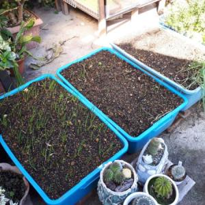 今年もネギ属の植え付け。【巨大プランターで家庭菜園】