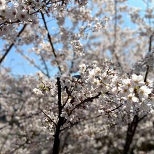 宮ヶ瀬に桜を観に。。。からの裏大垂水峠