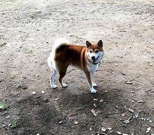 久々のお出かけ! ~〇〇で〇〇しない柴犬~