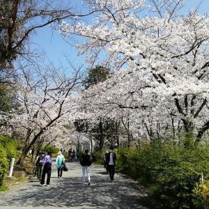 桜@千里南公園