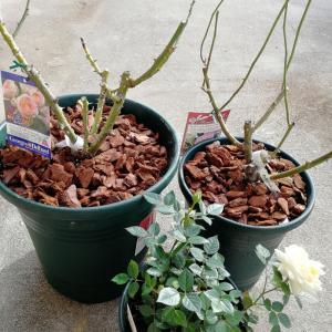 バラの庭植えと鉢替えなど