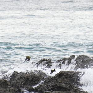 野鳥観察 大磯照ケ崎のアオバト 追加
