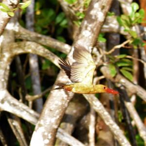 Kingfisher and Flowerpecker in Krabi