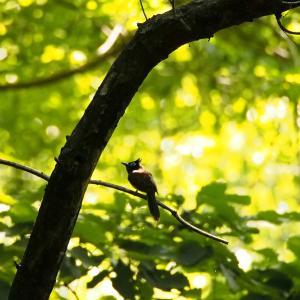 野鳥観察 逗子市 森戸川 サンコウチョウ