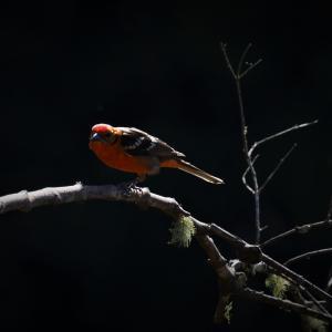 野鳥観察 ホノオフウキンチョウまとめ Flame-colored Tanager