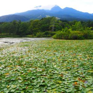 いもり池に繁茂する種のスイレン