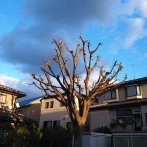 落ち葉が邪魔だという近所の苦情で伐採されそうな公園の木