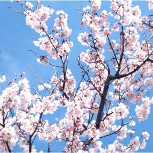 新潟で3月に桜が満開!
