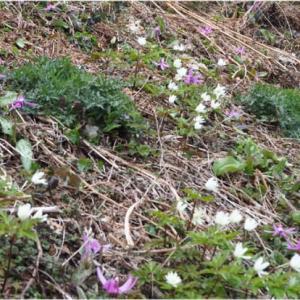 スキー場のゲレンデの片隅に咲くカタクリとキクザキイチゲ