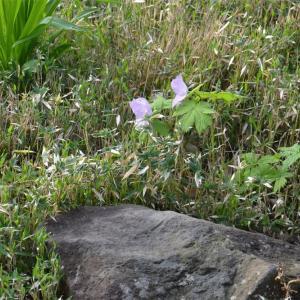 花が咲いてから株が大きくなったシラネアオイ