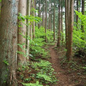 高坪山のブナ林