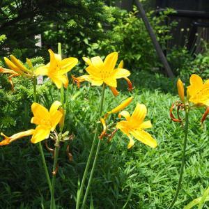 2ヶ月近く咲き続ける庭のニッコウキスゲ