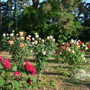寺尾中央公園の薔薇・バラ・ばら・2019