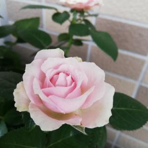 あらっ?ピンクのミニバラが٠٠٠(´゚з゚)~♪