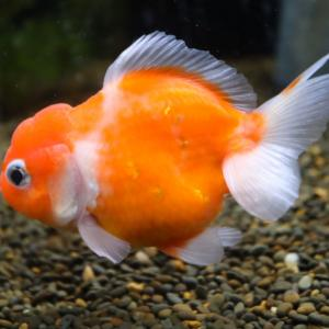 熱帯魚&金魚】入荷のご案内です。