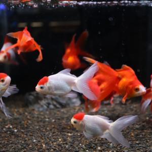 金魚】飯田産の金魚の紹介