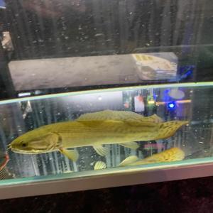 熱帯魚】アミアカルヴァ在庫あります