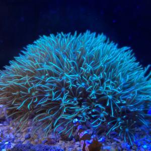 海水魚】初心者向けサンゴの紹介❗️丈夫な種類ですよ