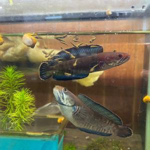 入荷】第2回ニューレインボースネークヘッド繁殖成功報告と熱帯魚の入荷情報