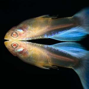 熱帯魚】アルビノ系の子達の紹介❗️