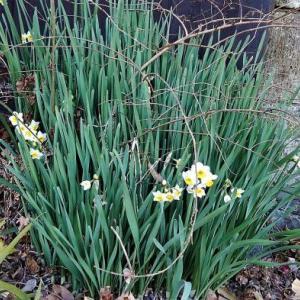 詩人ワーズワースの「The Daffodils-水仙」を想いながら…
