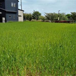 麦を緑肥に? ! それって何だかなぁ・・・
