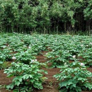 ジャガイモの花言葉を知っていますか ?