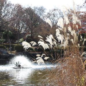群馬県藤岡市桜山公園で冬桜!