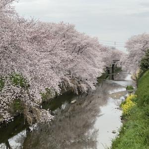 唐沢堤の桜