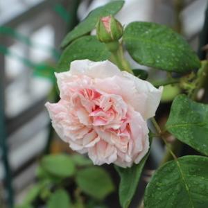 バラがポツポツ・・・・梅雨はだるい〜〜〜