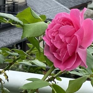 早朝からバラ剪定