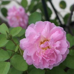 曇り空の静かなベランダのバラたち