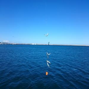 岩内港にサバ入って来ました