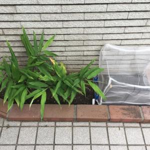 小松菜の種まき再チャレンジ と みょうが初収穫!