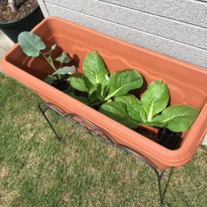 茎ブロッコリー・ミニ白菜・ほうれん草 始めました!と いちご用プランター購入
