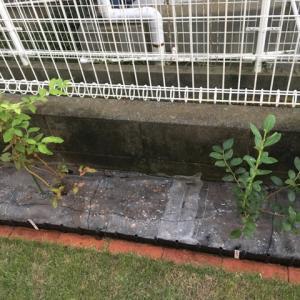 ブルーベリーの進捗状況、地植えは順調・鉢植えは停滞期?