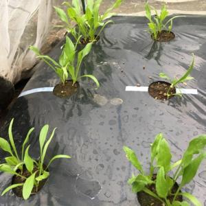 ほうれん草は今 と パーフェクト茎ブロッコリー