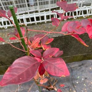 カブの発芽 と 小さい秋見つけました