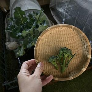 茎ブロッコリーの収穫 と 北海道のお裾分け