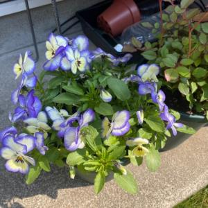お庭の中心で愛を叫ぶ、野菜も良いけど花も愛しい〜