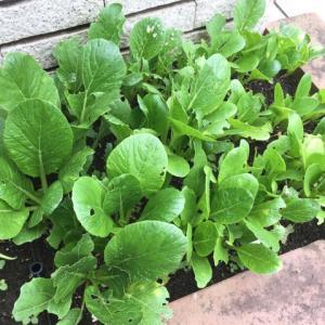 完全復活ではないけど極小スペースの小松菜の収穫