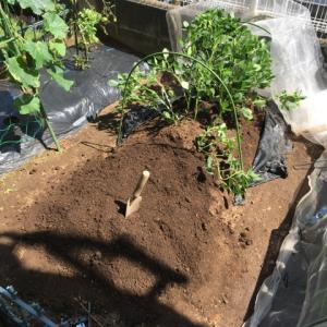 枝豆の撤去で分かる土の変化 と 寂しさ込み上げる夏祭り