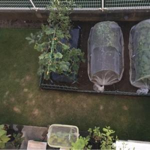 終わりが近い野菜たち と 上から目線の畑